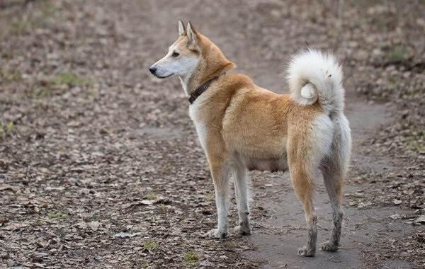 Западно-сибирская-лайка-собака-Описание-особенности-уход-и-цена-породы-4
