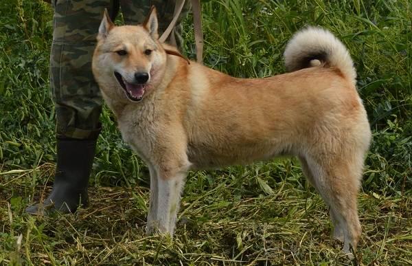 Западно-сибирская-лайка-собака-Описание-особенности-уход-и-цена-породы-5