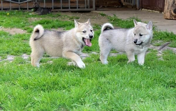 Западно-сибирская-лайка-собака-Описание-особенности-уход-и-цена-породы-6