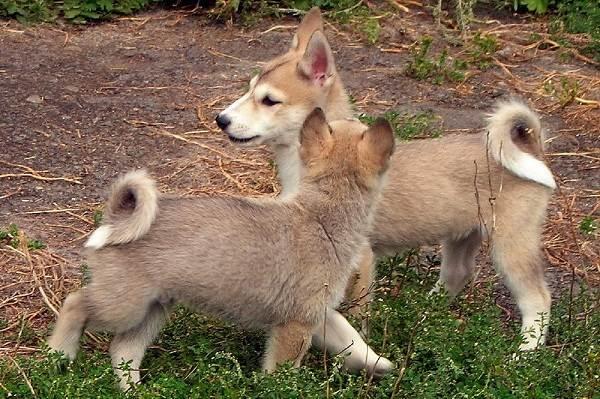 Западно-сибирская-лайка-собака-Описание-особенности-уход-и-цена-породы-8