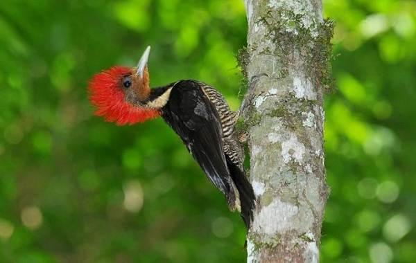 Желна-птица-Описание-особенности-виды-образ-жизни-и-среда-обитания-желны-1