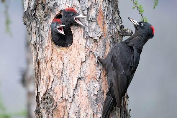 Желна-птица-Описание-особенности-виды-образ-жизни-и-среда-обитания-желны-13