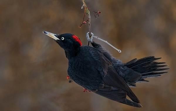 Желна-птица-Описание-особенности-виды-образ-жизни-и-среда-обитания-желны-15