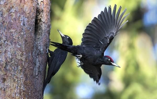 Желна-птица-Описание-особенности-виды-образ-жизни-и-среда-обитания-желны-18