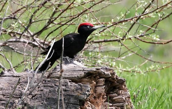 Желна-птица-Описание-особенности-виды-образ-жизни-и-среда-обитания-желны-8