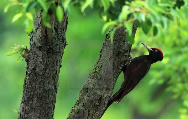 Желна-птица-Описание-особенности-виды-образ-жизни-и-среда-обитания-желны-9