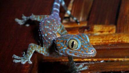 Геккон животное. Описание, особенности, виды, образ жизни и среда обитания геккона