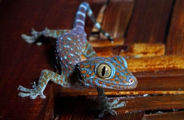 Геккон-животное-Описание-особенности-виды-образ-жизни-и-среда-обитания-геккона-21