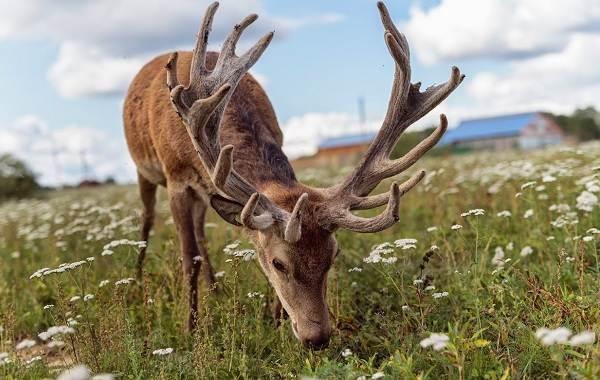 Алтайский-марал-животное-Описание-особенности-образ-жизни-и-среда-обитания-марала-10