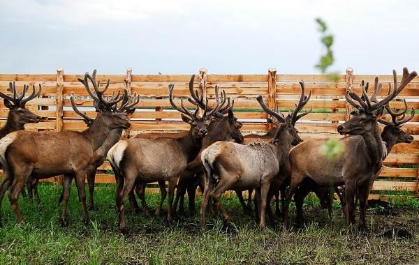 Алтайский-марал-животное-Описание-особенности-образ-жизни-и-среда-обитания-марала-3