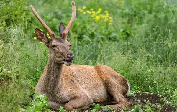 Алтайский-марал-животное-Описание-особенности-образ-жизни-и-среда-обитания-марала-6