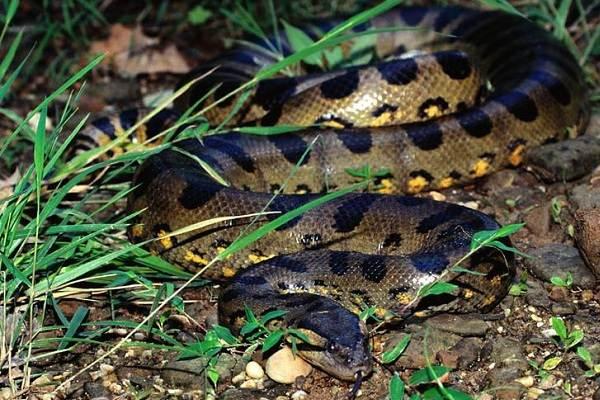 Анаконда-змея-Описание-особенности-виды-образ-жизни-и-среда-обитания-анаконды-10