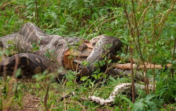 Анаконда-змея-Описание-особенности-виды-образ-жизни-и-среда-обитания-анаконды-12-1