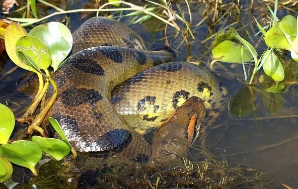 Анаконда-змея-Описание-особенности-виды-образ-жизни-и-среда-обитания-анаконды-12