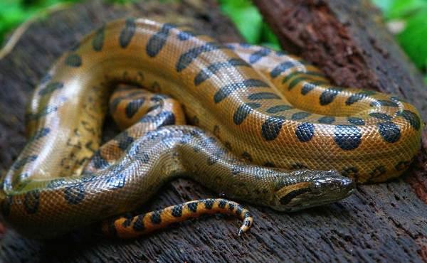 Анаконда-змея-Описание-особенности-виды-образ-жизни-и-среда-обитания-анаконды-3