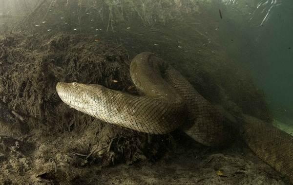 Анаконда-змея-Описание-особенности-виды-образ-жизни-и-среда-обитания-анаконды-4
