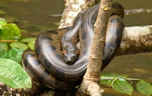 Анаконда-змея-Описание-особенности-виды-образ-жизни-и-среда-обитания-анаконды-5