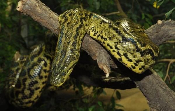 Анаконда-змея-Описание-особенности-виды-образ-жизни-и-среда-обитания-анаконды-7