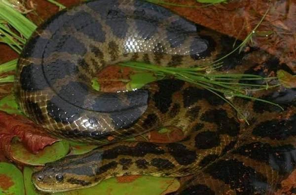 Анаконда-змея-Описание-особенности-виды-образ-жизни-и-среда-обитания-анаконды-8