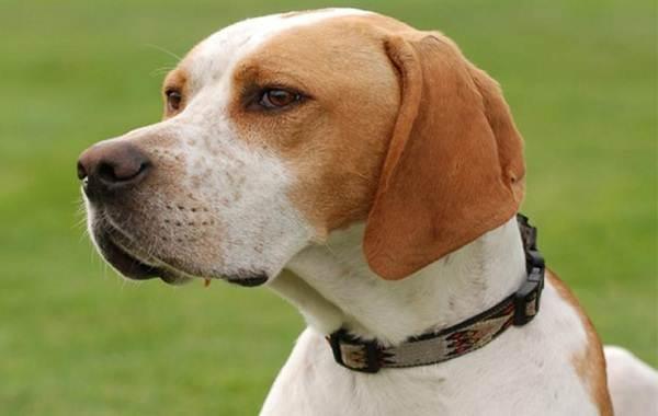 Английский-пойнтер-собака-Описание-особенности-виды-уход-и-цена-породы-1