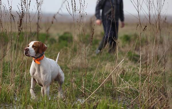 Английский-пойнтер-собака-Описание-особенности-виды-уход-и-цена-породы-10