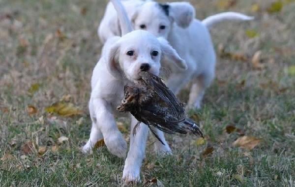 Английский-пойнтер-собака-Описание-особенности-виды-уход-и-цена-породы-14