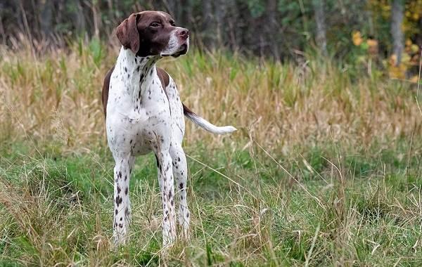 Английский-пойнтер-собака-Описание-особенности-виды-уход-и-цена-породы-2