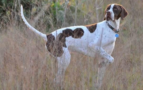Английский-пойнтер-собака-Описание-особенности-виды-уход-и-цена-породы-3