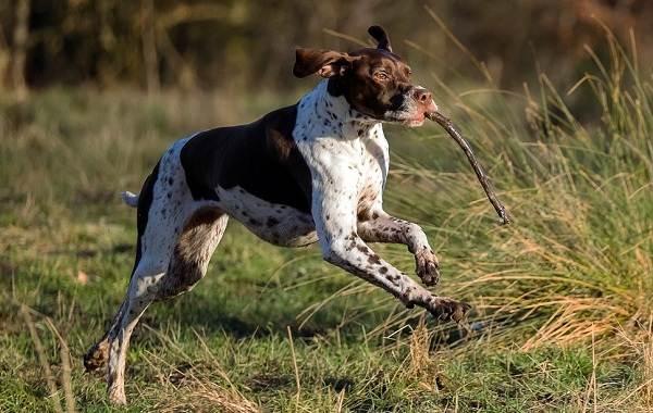 Английский-пойнтер-собака-Описание-особенности-виды-уход-и-цена-породы-5
