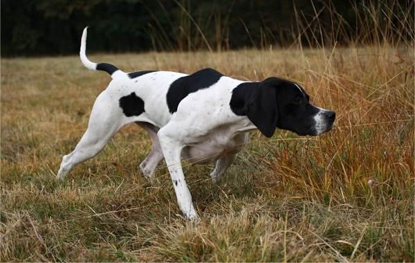 Английский-пойнтер-собака-Описание-особенности-виды-уход-и-цена-породы-6