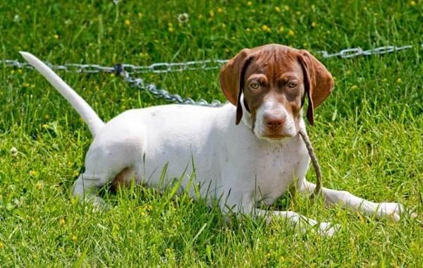 Английский-пойнтер-собака-Описание-особенности-виды-уход-и-цена-породы-7