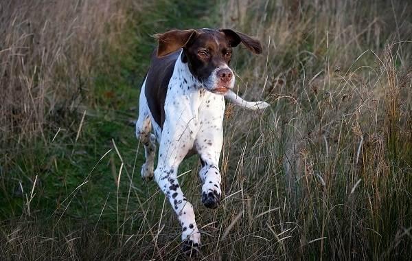 Английский-пойнтер-собака-Описание-особенности-виды-уход-и-цена-породы-9