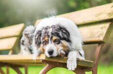 Австралийская овчарка собака. Описание, особенности, уход и цена породы