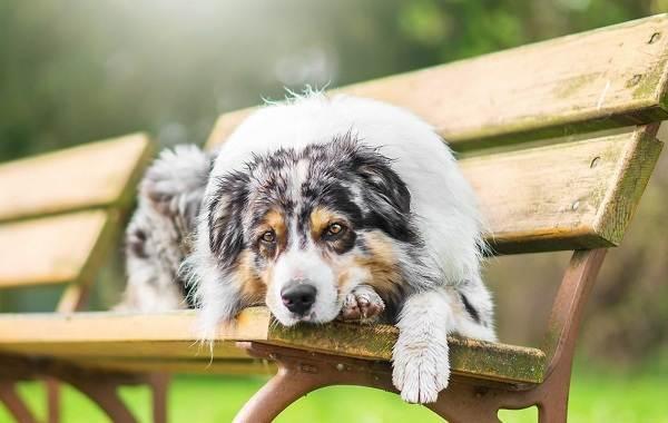 Австралийская-овчарка-собака-Описание-особенности-уход-и-цена-породы-10