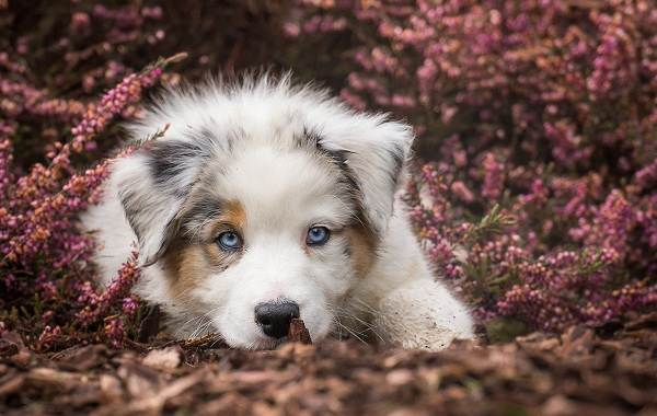 Австралийская-овчарка-собака-Описание-особенности-уход-и-цена-породы-12
