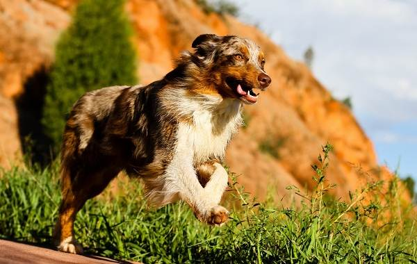 Австралийская-овчарка-собака-Описание-особенности-уход-и-цена-породы-13