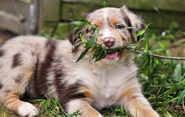 Австралийская-овчарка-собака-Описание-особенности-уход-и-цена-породы-14