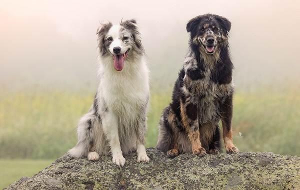 Австралийская-овчарка-собака-Описание-особенности-уход-и-цена-породы-15