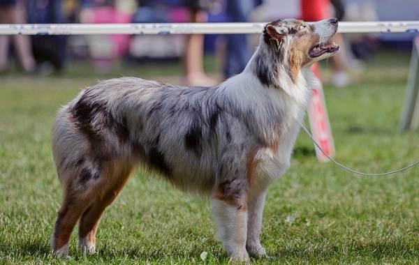 Австралийская-овчарка-собака-Описание-особенности-уход-и-цена-породы-17
