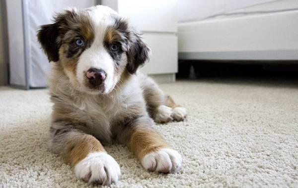 Австралийская-овчарка-собака-Описание-особенности-уход-и-цена-породы-18