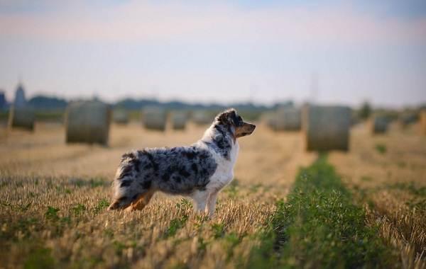 Австралийская-овчарка-собака-Описание-особенности-уход-и-цена-породы-20
