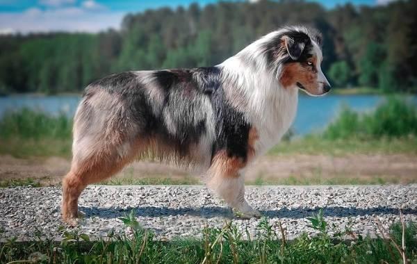 Австралийская-овчарка-собака-Описание-особенности-уход-и-цена-породы-3