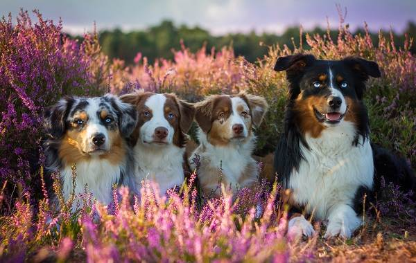 Австралийская-овчарка-собака-Описание-особенности-уход-и-цена-породы-4