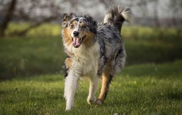 Австралийская-овчарка-собака-Описание-особенности-уход-и-цена-породы-6