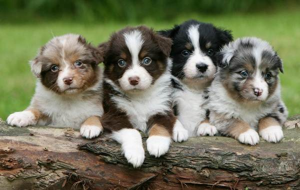 Австралийская-овчарка-собака-Описание-особенности-уход-и-цена-породы-9