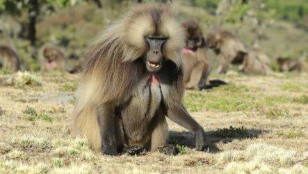 Бабуин обезьяна. Описание, особенности, образ жизни и среда обитания бабуина