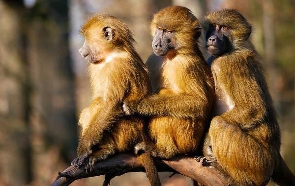 Бабуин-обезьяна-Описание-особенности-образ-жизни-и-среда-обитания-бабуина-11
