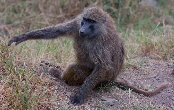 Бабуин-обезьяна-Описание-особенности-образ-жизни-и-среда-обитания-бабуина-12