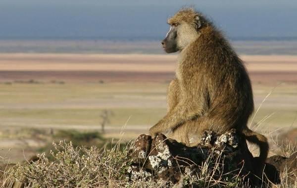 Бабуин-обезьяна-Описание-особенности-образ-жизни-и-среда-обитания-бабуина-14