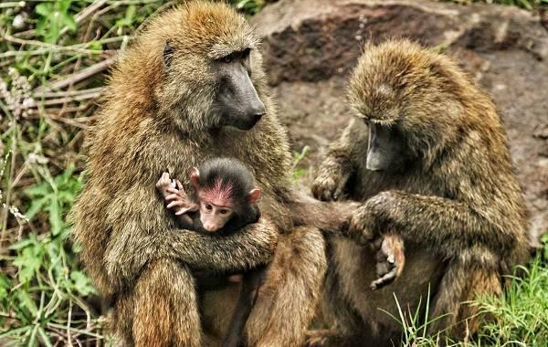Бабуин-обезьяна-Описание-особенности-образ-жизни-и-среда-обитания-бабуина-15